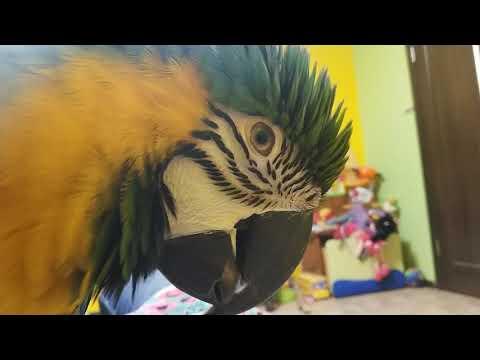 Сине-желтый попугай ара: ласки