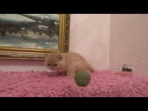 Экзотический короткошерстный котенок красного окраса на продажу Exotic shorthair kitten for sale
