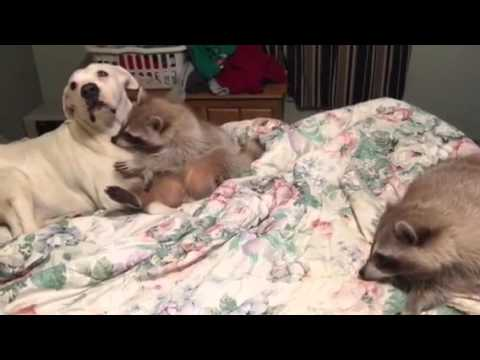 Willie Raccoon loves his Christi dog