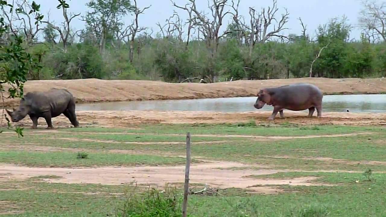 Rhinoceros and Hippopotamus