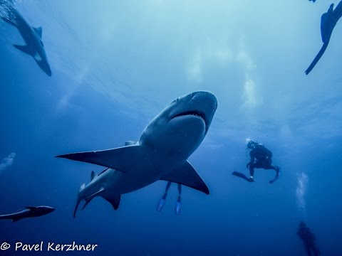Shark Dive in Jupiter, FL on Emerald Charters 2/12/16