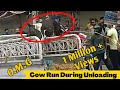 Cow Run Away During Unloading 2019 Must Watch