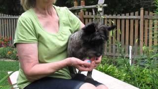 Fiyero - Purebred Cairn Terrier For Adoption Thru Cairn Rescue Usa