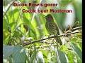 Cucak Rawis Gacor Cocok Buat Masteran  Mp3 - Mp4 Download