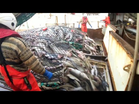 Fishing and Processing on a Freezing Trawler
