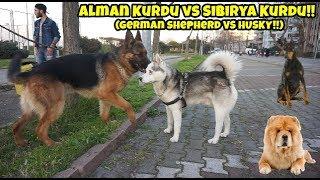 ALMAN KURDU VS HUSKY -  KAFA KAFAYA GELİNCE OLAN O