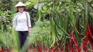 摘点红辣椒和番茄,做一道红红火火云南家常菜:红三剁【滇西小哥】