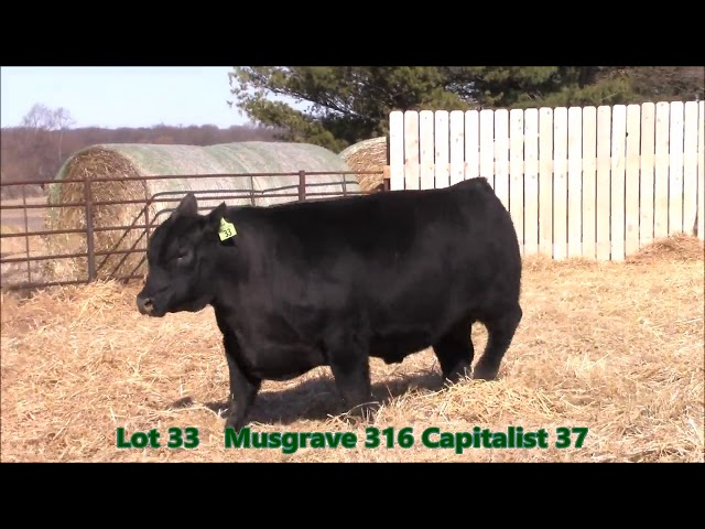 Musgrave Angus Lot 33