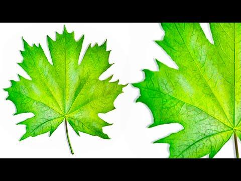 Digital Painting - Leaf (SpeedPaint)