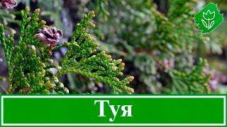 видео Выращивание кизильника на даче: из семян, в открытом грунте, условия, посадка, полив, подкормка, уход