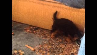 Yorkshire Terrier Çılgın Yavru