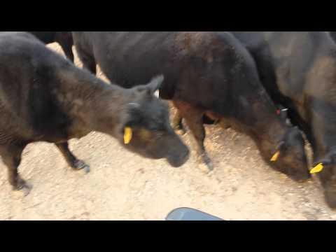 Bray feeding cows