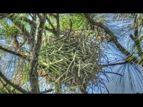 Intelligent Crows Build A Decoy Nest