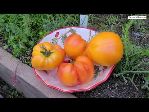 Первыми поспели томаты сорта Старый Немецкий ( Old German tomato ). Урожайный огород.
