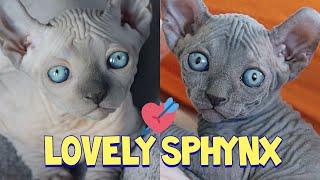 Adorable Sphynx Cat Compilation : Сфинкс