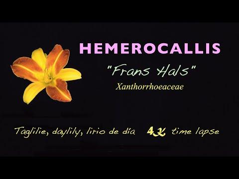 Taglilie, daylily, lirio de día, Hemerocallis FRANS HALS, [time lapse, 4K]