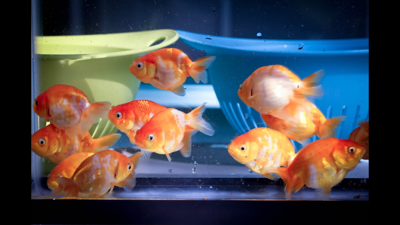 Ranchu goldfish for sale sk2 youtube for Gold fish for sale