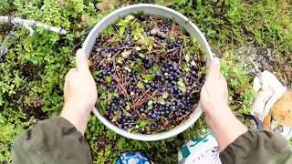 видео Выращивание брусники, клюквы и красники