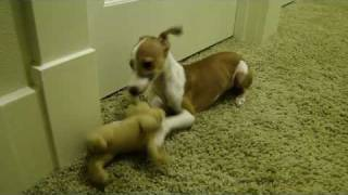 Italian Greyhound Puppy Playing - Enzo