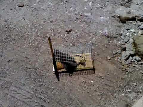 Straordinaria cattura di un ratto con trappola t rex doovi for Trappola piccioni