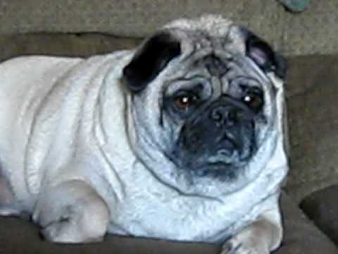 Fat Lazy Pug Youtube