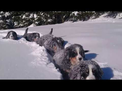 Time for fun in the snow 😀 puppies Bernese Mountain Dog 12 weeks