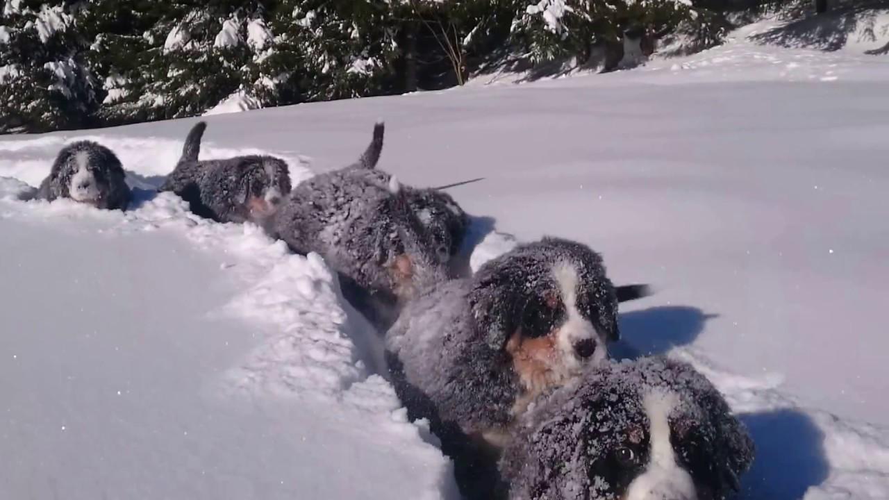 Мини бернардинци во снег