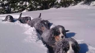 Awww! Bernese Mountain Puppies Having Fun In The Snow Are Too Cute To Handle!