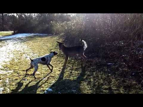 German Shorthair Pointer playing with deer