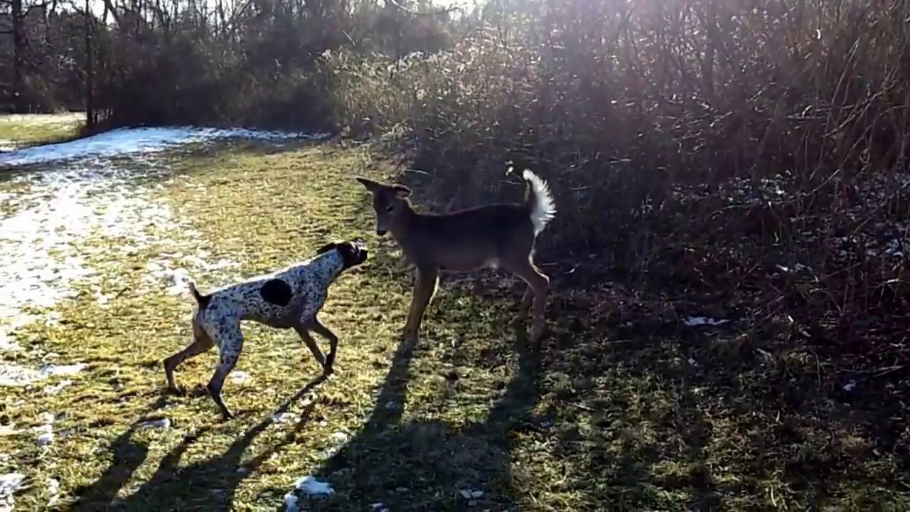German Shorthair Pointer playing with deer - YouTube