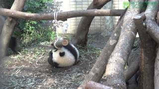 圓仔行為豐富化之玩樹枝 Giant Panda Cub Yuan Zai Playing Wood