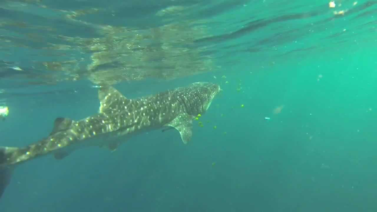 Snorkeling With Whale Shark Rosie Al Lith Youtube