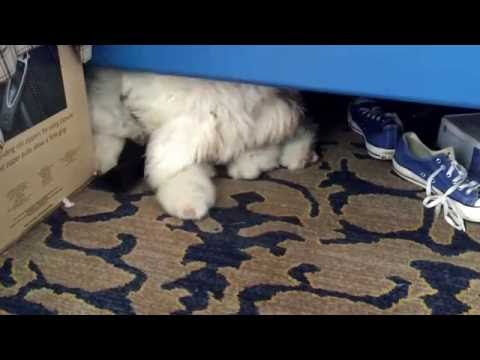 Old English sheepdog under the bed