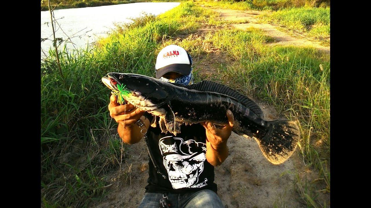 ตกปลาชะโด Giant Snakehead fishing
