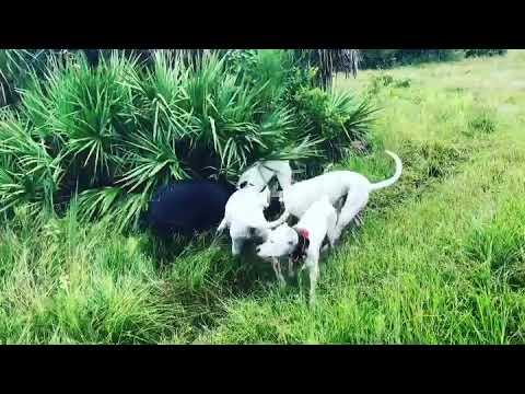 Dogo Argentino (not pitbull) vs wild boar pig - YouTube