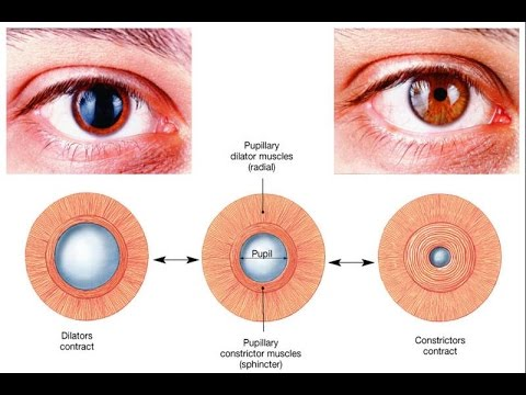 Autonomic control of pupillary size and accommodation - sphincter ...