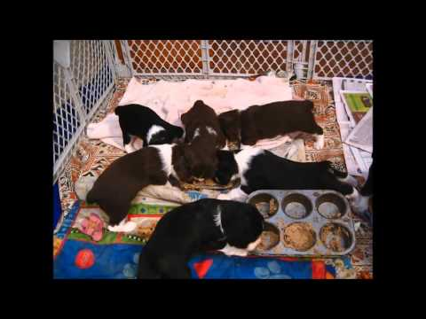 English Springer Spaniel Puppies First Meal (II Shea Kennels)