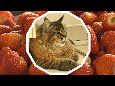 Maine Coon Willy & Strawberries