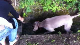 Crazy Weimaraner Dog Hunts Down Garden Stream