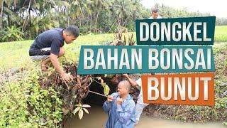 Menggali Bahan Bonsai Bunut (Ficus Glauca)