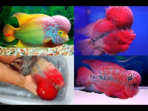Flowerhorn fish types and different colors - YouTube