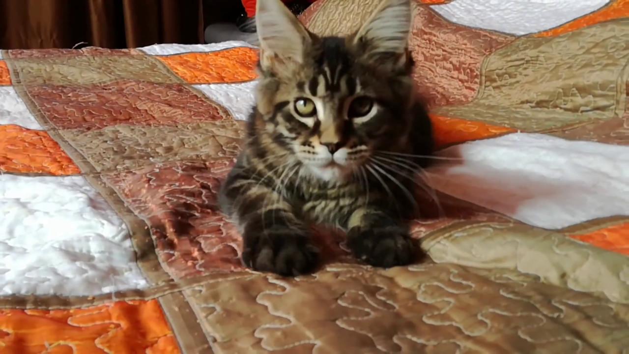 Видео котенка мейн-кун, кремовый солид, Marmalade Grey Claw`s в 3 .
