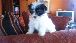 Biewer-yorkshire-terrier Welpen / O-wurf (6)