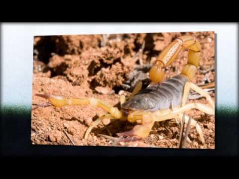 Scorpion Control | Scottsdale,  AZ -- Cummings Termite & Pest Control