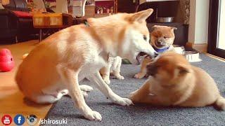 Mom needs spa day ASAP - MLIP / Ep 68 / Shiba Inu puppies