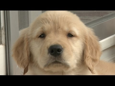 Amazing Animal Facts!: Golden Retrievers
