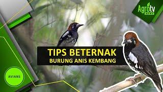 TIPS BETERNAK BURUNG ANIS KEMBANG