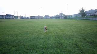 7月19日さんぽで「狩猟犬への挑戦.