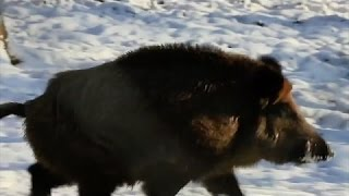 Close call with running wild boar