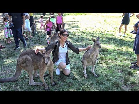 4K Kangaroos In Morisset Park - Australia